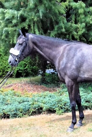 Un-named Gold Well 2014 Gelding